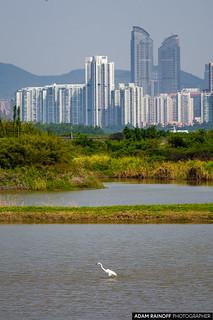 Great Egret Shenzhen Skyline Mai Po Hong Kong China