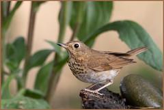 Swainson's Thrush (dennis_plank_nature_photography) Tags: avianphotography swainsonsthrush thurstoncounty birdphotography naturephotography wa avian birds home littlerock nature