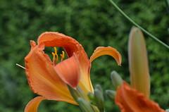 DSC_3226 Durchblick zum Detail - With an eye for detail (baerli08ww) Tags: deutschland germany rheinlandpfalz rhinelandpalatinate sommer summer blume flower