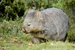 IMG_6316 (Caleb McElrea) Tags: cradlemountain unesco worldheritagesite tasmaniansouthwestwilderness tasmania wilderness cradlemountainlakestclairnationalpark commonwombat