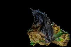 Leaf Decay (KellarW) Tags: decay mapleleaf leaf decaying brown blackend leafdetails colorful macro black green spiky details detailed blackenddecay