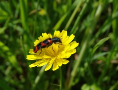 Trichodes alvearius (rockwolf) Tags: trichodesalvearius cleridae beetle coleoptera insect moncourtfromonville seineetmarne france 2018 rockwolf