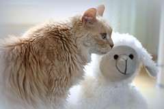 """so the lion fell in love with the lamb..."" (photos4dreams) Tags: p4d photos4dreamz photos4dreams photos chilli photo pics misschillipepper mainecoon female cat ginger red rot fluffy katze canoneos5dmark3"