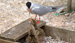 Tern feeding chick (Tony Worrall) Tags: tern feeding chick moorhen bird birds cute wild wildlife life nature natural love young baby babies small preston lancs lancashire city welovethenorth nw northwest update place location uk england north visit area attraction open stream tour country item greatbritain britain english british gb capture buy stock sell sale outside outdoors caught photo shoot shot picture captured ashtononribble ashton
