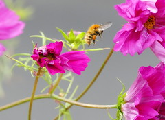 Busy Bee ! (eric robb niven) Tags: ericrobbniven scotland dundee kingoldrum angus bumble bee cosmos flowers springwatch