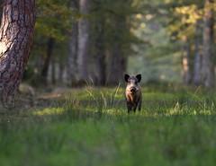 perspective (guiguid45) Tags: nature sauvage animaux mammifères forêt loiret forêtdorléans d810 nikon 500mmf4 sangliers cochons affût