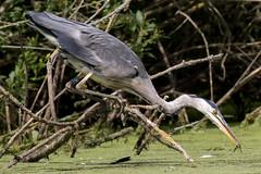 Grey Heron (Deadpanhammer) Tags: canon7dmk2 ef400mmf56l bird nature greyheron