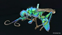 Emerald cockroach wasp or jewel wasp, Ampulex sp., Ampulicidae (Ecuador Megadiverso) Tags: 15mm ampulexsp ampulicidae andreaskay cockroachwasp ecuador emerald euglossini focusstack hymenoptera jewel müllerianmimicry parasite