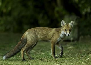 Juvenile Dog Fox