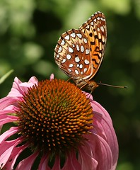Aphrodite Fritillary on Coneflower (Eric C. Reuter) Tags: nature wildlife ny catskills july 2018 072018 insects butterflies butterfly flowers peaseddyroad hancock