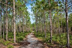 The Trail (John C. House) Tags: everydaymiracles nik sand nikon palmettopalm johnchouse d810 pines florida