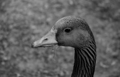 Look at those Teeth. (WorcesterBarry) Tags: blackwhite blackandwhite goose bnw nature birds closeup