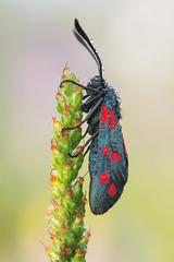 Zygaena sp. (Prajzner) Tags: zygaena butterfly lepidoptera sigma105mmmacro nature nikond7100 novoflexcastelxqii sigma manfrotto macro