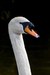 Swan (stu1406) Tags: bird park 2018 swan waterfowl head canal newbradwell miltonkeynes march canon