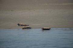 Phoca vitulina_DVL0153 (larry_antwerp) Tags: nederland zeeland oosterschelde zeehond seal phocavitulina commonseal gewonezeehond harbourseal harborseal