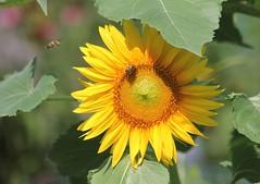 fully awake (Moon Rhythm) Tags: sunflower garden compost birdseed