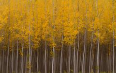 Ghosts of Autumn Past (carolina_sky) Tags: boardmantreefarm poplar aspen trees autumn fall leaves color gold yellow symmetry skymatthewsphotography pentaxk1 pentax70200mm pixelshift