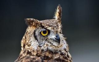 Tamron 150-600 - Owl - 5638