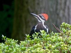 Pileated Woodpecker (Dryocopus pileatus) (WRFred) Tags: bird backyardwildlife wildlife woodpecker nature maryland montgomerycounty washingtonwestquad young