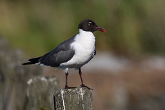 Laughing Gull....6O3A8735A (dklaughman) Tags: laughing gull bird indianriverinlet delaware