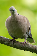 Collared Dove (CJH Natural) Tags: eurasiancollareddove türkentaube streptopeliadecaocto dove bird vögel rspb nature avian inquisitive bokeh green