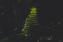 Chosen by the light. (Pablin79) Tags: fern light colors shadows dark green nature outdoors cuñapirulodge aristobulodelvalle misiones argentina closeup dust walk trekking hiking plants forest wood