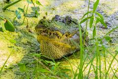 Keep Away From Me (BFS Man) Tags: brazosbend k3 pentax pilantslough texas alligator gator reptile statepark water