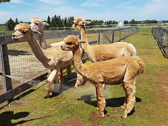 Day 1 - Alpaca Farm (Bobcatnorth) Tags: alpacas princeedwardisland canada summer 2018 pei cycling bicycle touring bicycletouring camping sightseeing
