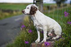 Rupert (TrevKerr) Tags: dog dogportrait gundog englishspringerspaniel spaniel springer springerspaniel nikon d3s nikon85mmf18