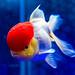 Red Cap Oranda Goldfish of Sumida Aquarium in Tokyo Sky Tree Town : タンチョウ(丹頂)(東京スカイツリータウン・すみだ水族館)