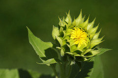 Sunflower Soon (Modkuse) Tags: flower sunflower brightcolor brightcolors yellow yellowflowers fujifilm fujifilmxt2 xt2 xf55200mmf3548rlmois zoom