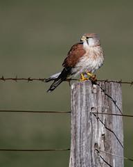 Nankeen Kestrel (Jeff_Warner) Tags: nikon200500f56 nikond500 birdsofpray kestrel