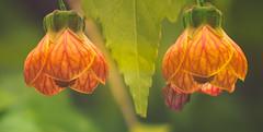 Chinese Lantern (el-liza) Tags: outdoor outside garden flora plant tree flowers exotic ocean macro closeup australia