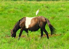 Chincoteague Pony Pixie Dust (baypeep) Tags: horse pony assateague chincoteague