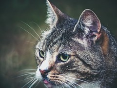 2018-07-26_21-20-00 - Evening Cat Bokeh (torstenbehrens) Tags: evening cat bokeh tarbek schleswigholstein deutschland olympus penf m42f8500mm zhongyi objektiv turbo ii efm43 wecellent m42ef adapter