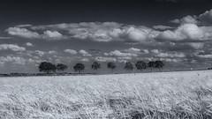 Windy Day (davepickettphotographer) Tags: trees row cambridgeshire brampton huntingdonshire landscape blackandwhitephotography