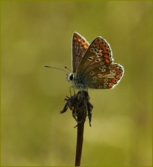 Brown Argus resting - Masts field (glostopcat) Tags: brownargusbutterfly butterfly insect invertebrate summer august glos butterflyconservation prestburyhillnaturereserve