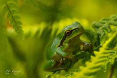 Tree frog No. 5 (Leo Kramp) Tags: 2018 canon1egprofessionalgadgetbag amsterdamsewaterleidingduinen manfrottobalheadmhxprobhq2 accessoires wandelen websitedieren benroadventuremonopodmad49a flickr leo kramp leokramp wwwleokrampfotografienl leokrampfotografie