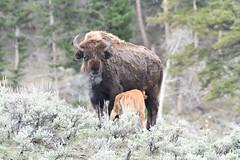 Bison and calf (adbecks) Tags: bison yellowstone nikon d500 200500 wildlife ynp national park calf feeding