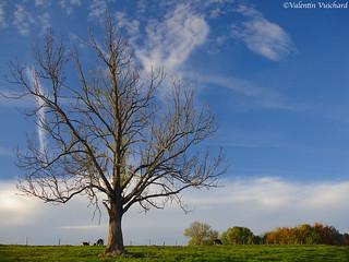 SF_DSC02672 - Lonely Tree, Echarlens, Gruyère region - Switzerland