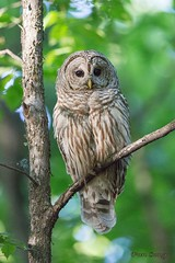 Barred Owl (f) (fsong) Tags: barred owl
