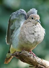 A6304857 (mbisgrove) Tags: bird wings feathers sel100400gm a6300 feather dove wing sony