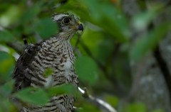 Juv sparrowhawk (davy ren2) Tags: hawk prey young nikon d500 nature photograthy wildlife