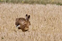 Brown Hare (2 of 3) - Taken at Harley Way, near Churchfield Farm, Oundle. Northants. UK. (Ian J Hicks) Tags: