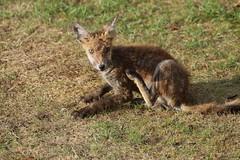 Interrupted in mid-scratch (charliejb) Tags: fox wild wildlife garden 2018 westburyontrym bristol ears fur furry furred red grass mammal carnivore