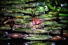 Seerose... (D.Purkhart) Tags: botanical seerose flowers maurices mauritius color pampelmoussegarden botanischergarten botanicalgarden