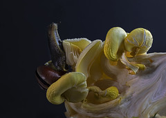 Snail-on-fungi_2182-2 copy (Peter Warne-Epping Forest) Tags: macro closeup snail fungi peterwarne coppedhallpark