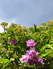 Peonies (DameBoudicca) Tags: sweden sverige schweden suecia suède svezia スウェーデン öhr ör flower blossom blomma blüte flor fiore fleur 花 はな peony pion pfingstrosen päonien pivoine paeonia peonia 牡丹 ぼたん
