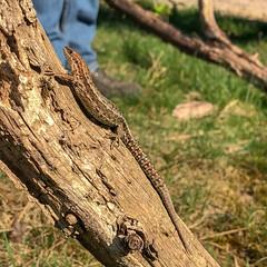 Bunt Hagedis (doevos) Tags: hagedis hogeveluwe lizard lézard npdhv nationaalparkdehogeveluwe veluwe wandelfit