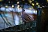 DSC03703 (davyskin46) Tags: sony slt tamronspaf70300mmf456diusdlens a57 avian collareddove streptopeliadecaoto bird wildlife bokeh